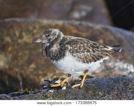 Ruddy turnstone (Arenaria interpres) standing on a rock in its habitat