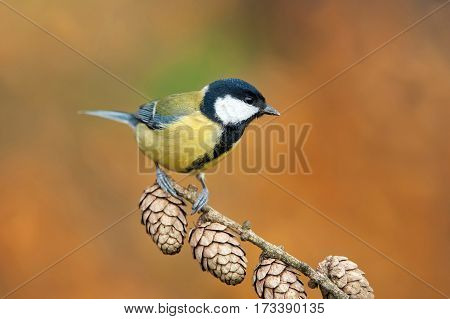 Photo of great tit perching on a twig