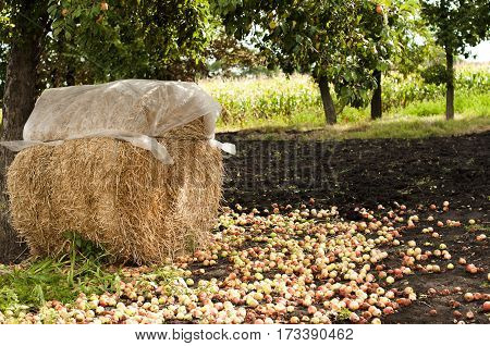 haystack protected by weatherproof polyethylene in apple orchard