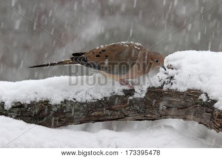 A mourning dove Zenaida macroura searching for food in a snowstorm