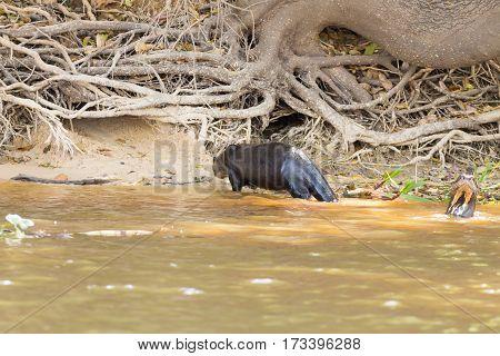 Giant Otter From Pantanal, Brazil