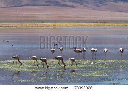 Flamingos at Salar de Tara Altiplano Chile