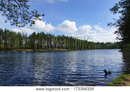Landscape forest lake with reflection of clouds in the sky and pine trees on the beach