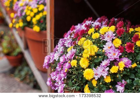 Shelves in garden with potted Chrysanthemums (mums or chrysanths) flowers.