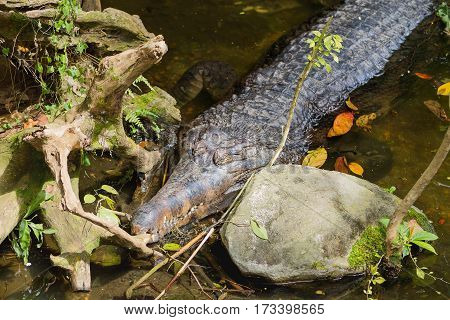 The false gharial (Tomistoma schlegelii ) also known as Malayan gharial Sunda gharial and Tomistoma. Big crocodile in water.