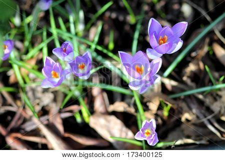 First spring flowers. Five purple crocuses in sunlight in the grass.