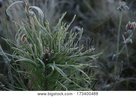 Frozen tip of a small pine tree, on a background of the nature