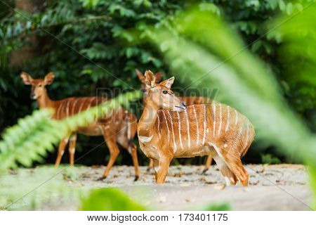 Sitatunga or marshbuck (Tragelaphus spekii) is a swamp-dwelling antelope. Female. Singapore.