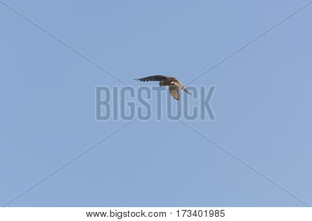 Bird of prey stands on the spot in the air the so-called jogging flight.