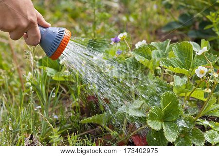 hand watering strawberry with garden hose in the garden