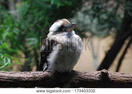Chubby Australian kookaburra bird on a wide fallen log.