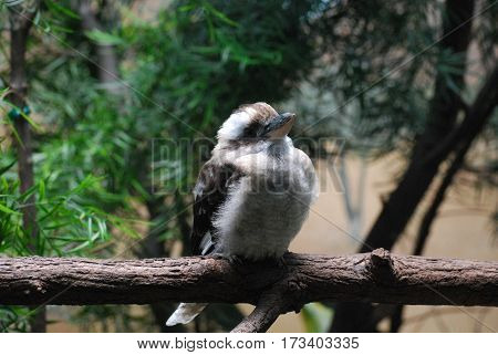 Kookaburra bird perched on a tree branch in the woods.