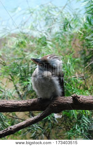 Laughing kookaburra bird sitting on a tree branch.