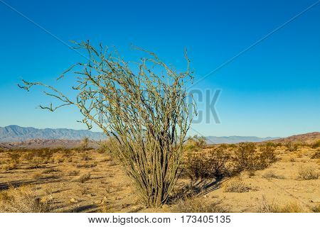Ocotillo is not a true cactus. For much of the year the plant appears to be an arrangement of large spiny dead sticks although closer examination reveals that the stems are partly green. With rainfall the plant quickly becomes lush with small (2-4 cm) ova