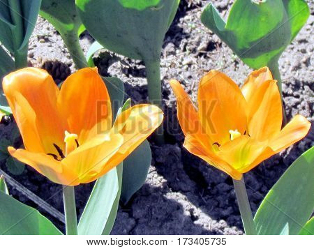 Orange tulip flower spring in garden in Toronto Canada