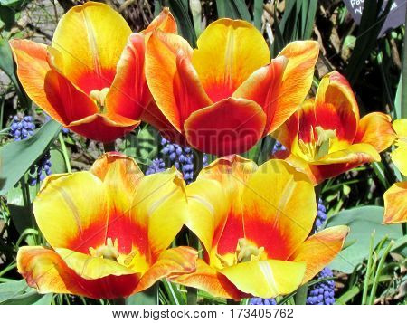 Orange tulips spring in garden in Toronto Canada