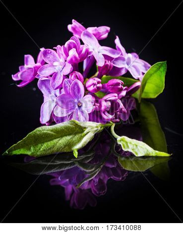 The beautiful lilac on a black background