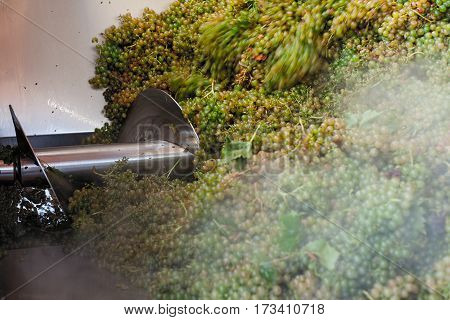 Bunches of white grapes during the crushing process in a large stainless steel tub