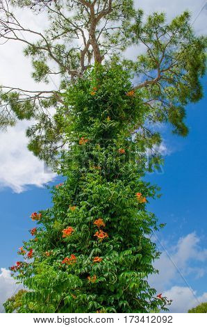 A tall pine tree growing to the sky with climbing trumpet creeper liana.