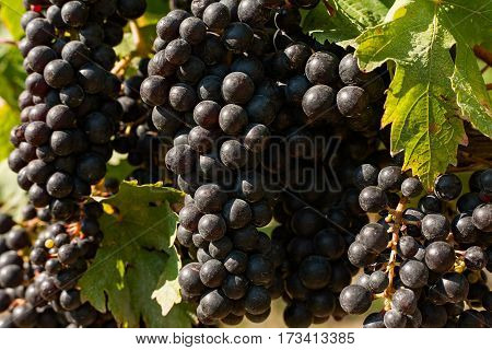 Closeup of bunches of red grapes in the vineyard during a sunny day