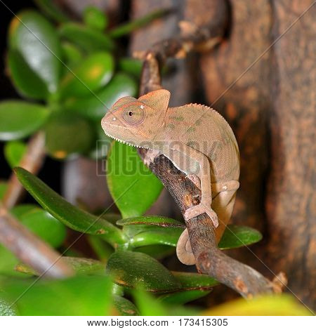 young ceylon chameleon resting under warm lamp