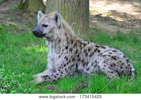 young spotted hyena resting in green grass