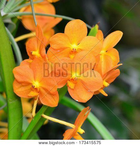 Neocognauxia hexaptera orchid in Brno botanical garden