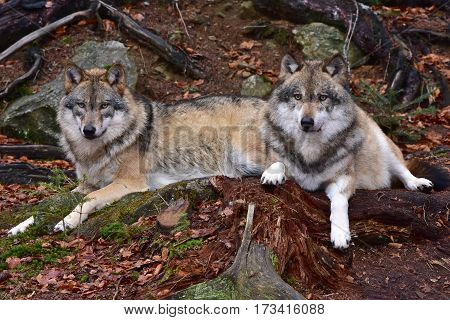 grey wolf in Bavarian forest national park in Germany