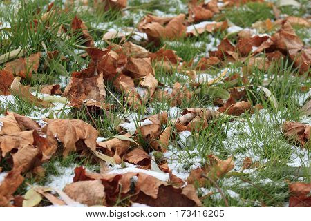 Dry autumn leaves on the snowbound grass in park.