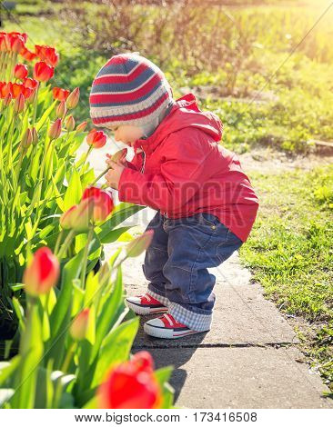Little child smelling tulips on the flower bed in beautiful spring day. Baby boy outdoors in the garden