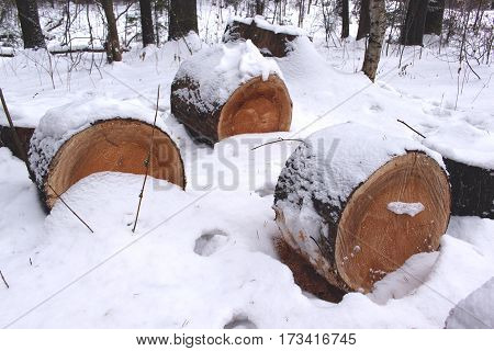 Cut felled pine trees in the beautiful winter forest. Deforestation. Ecological problems.