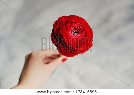 Girl holding a red flower ranunkulyus with a plurality of petals