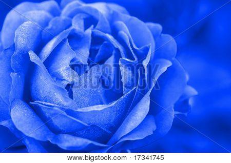 blue rose in close up
