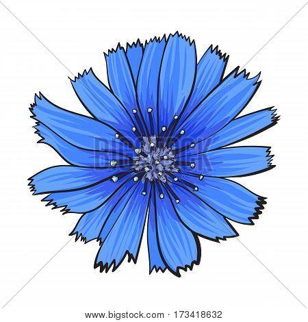 Open chicory wild flower head, top view, sketch style vector illustration isolated on white background. Realistic top view hand drawing of wild, field chicory flower