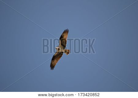 Osprey flying over the mountains in Montana. It is also known as fish eagle, sea hawk, river hawk, and fish hawk