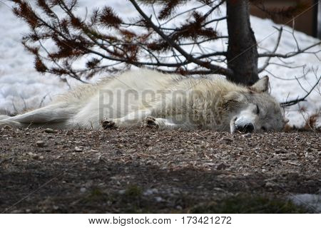 Grey wolf resting on a cold spring morning in Montana