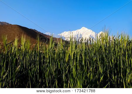 Wheat in the Himalayan mountains of Nepal.