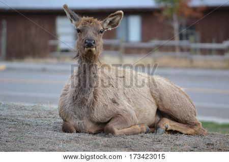Scruffy looking elk shedding winter fur coat on an early spring evening in yellowstone