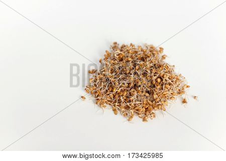 young wheat sprouts in a glass container isolated on a white background spring time