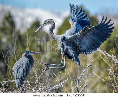Great Blue Heron bringing a stick to his girl.