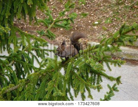 Photo of  the Eurasian red squirrel eating the end of a spruce tree branch