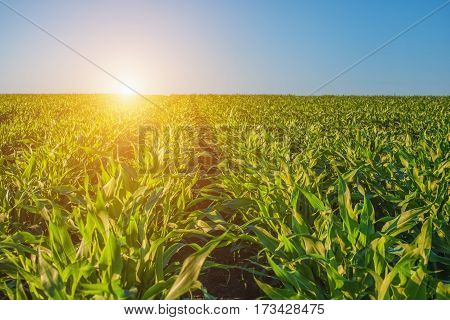 Summer Day Highlights The Agricultural Field, Which Is Growing In Neat Rows, High, Green, Sweet Corn