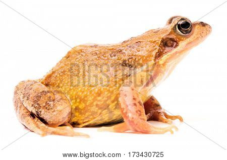 European common brown grass frog, Rana temporaria. Female with bright mating colors.
