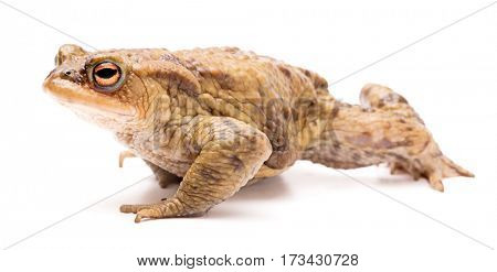 Common toad, Bufo bufo. Beautiful amphibian crawling on a white background.