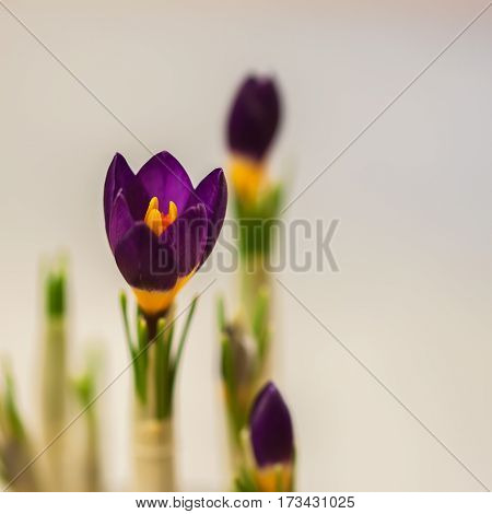 Closeup crocus on gentle background with real reflection light, real gradient. Place for your text. For pattern, wallpaper, banner design. Spring, gardening, spring nature, flowers concept