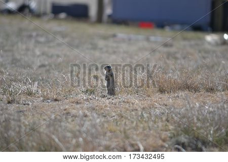 Prairie dog in a field outside Buford, Wyoming