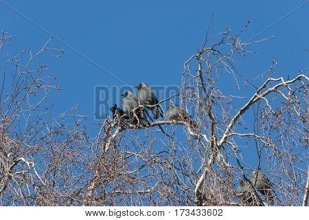 Jackdaw birds getting warm in winter sun