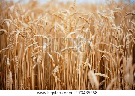 Wheat Field. Ears Of Golden Wheat Close Up.