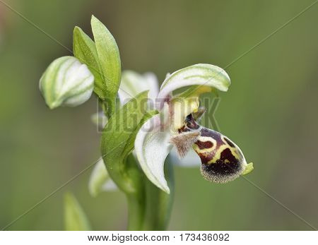 Ophrys Umbilicata Orchid