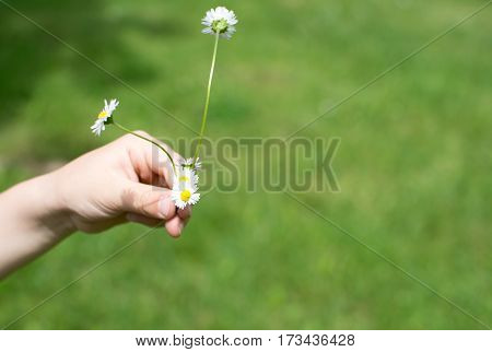 Chamomile in kids hand. Outdoors in the park.